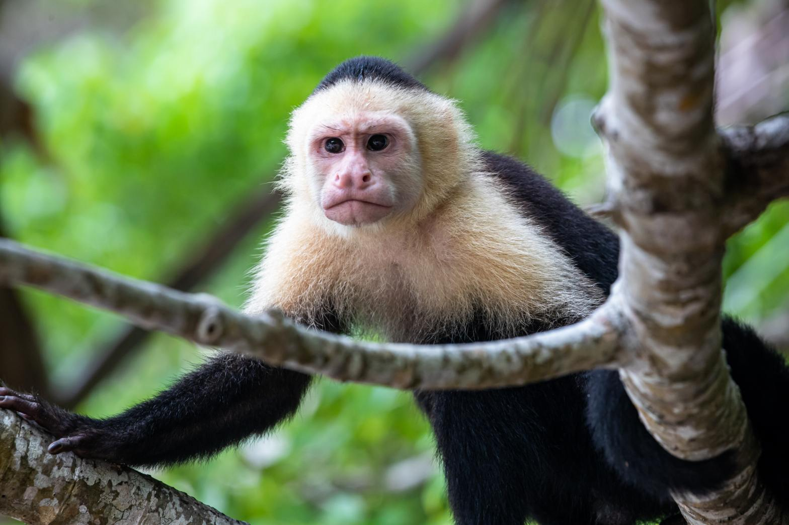 Photo of annoyed monkey in Costa Rica